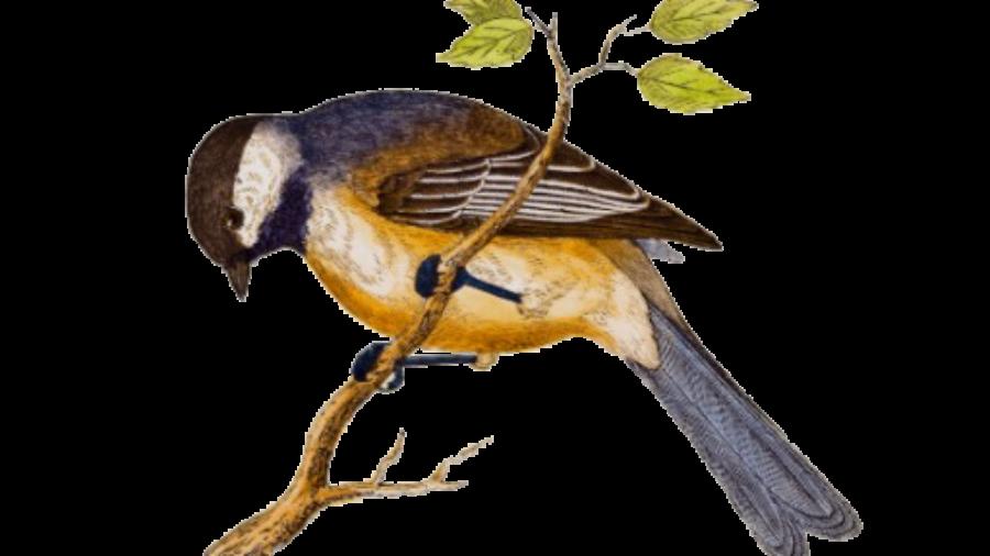 vintage_song_bird_illustration_1800s_birds_poster-r726929e5e2b64b869abb3433f14d5aea_w2q_8byvr_512